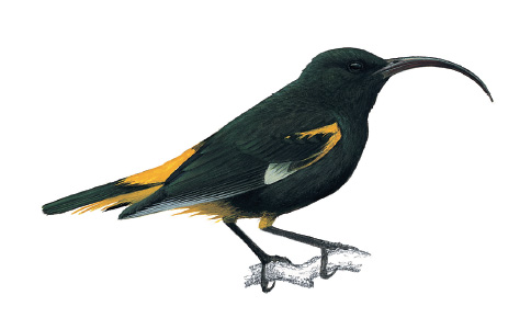 Mamo Bird, now extinct