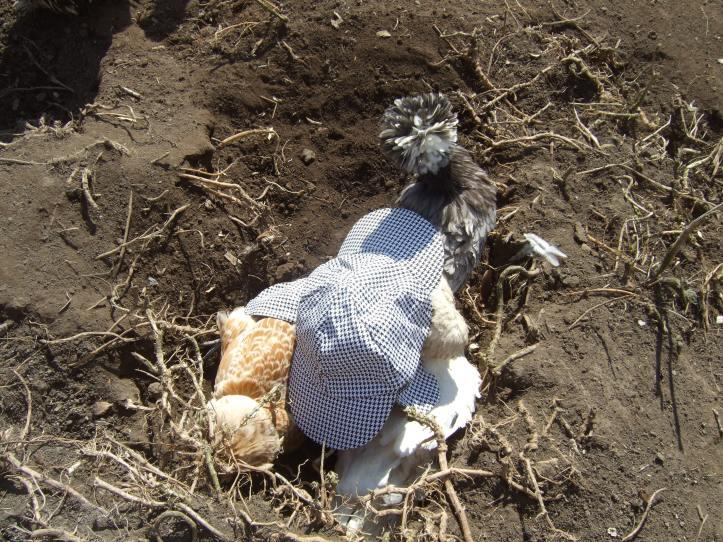 A final bit of silliness. I couldn't resist putting the hat on the three Polish chickens having a sunbathe.